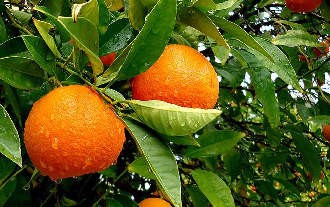 apelsini_turciya